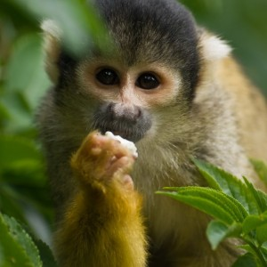 capuchin 2