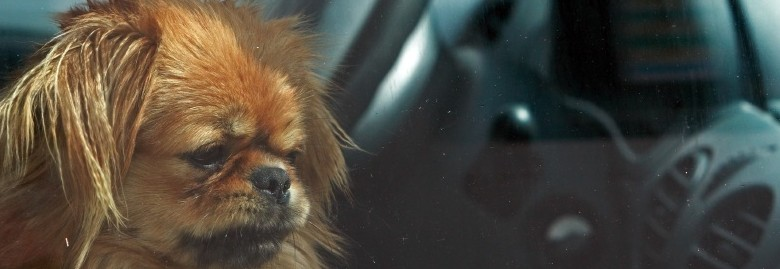 dog in car banner