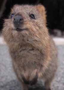 new quokka