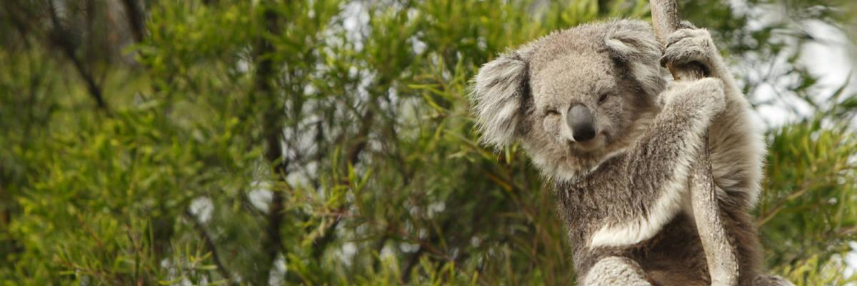 dont-pick-up-koala-banner